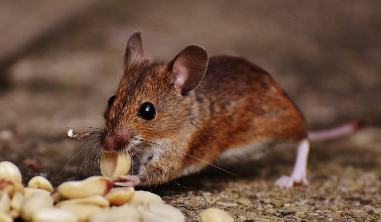 rodent mouse pest